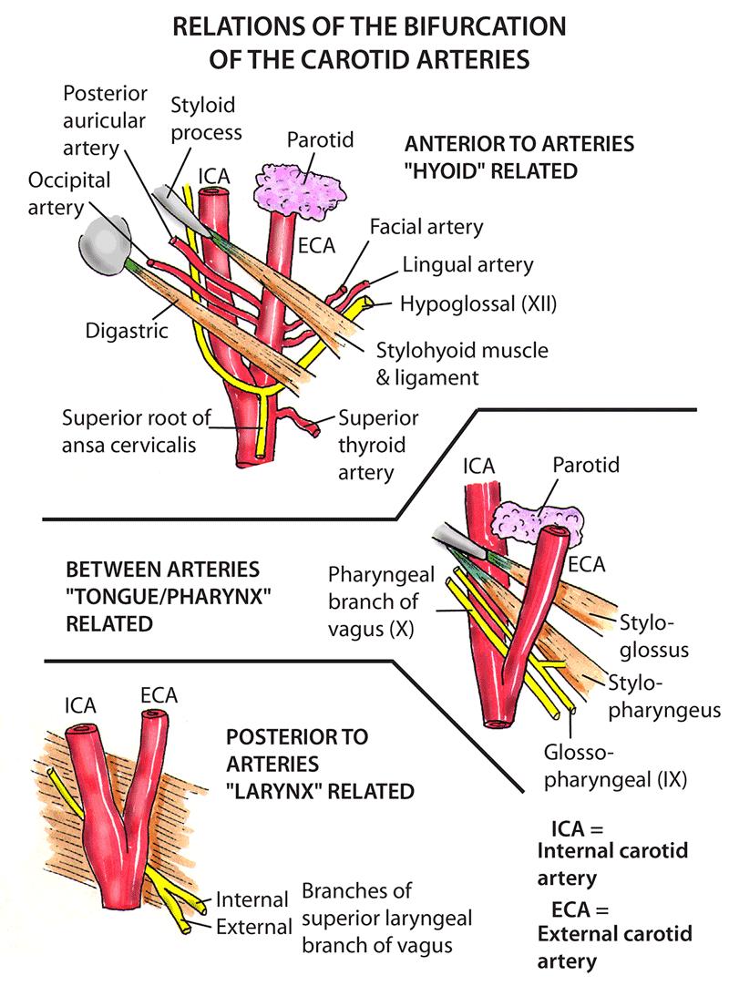 Skull Meninges Csf And Neuroanatomy